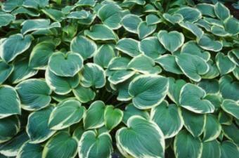Starostlivosť o jeseň pre rastliny Hosta