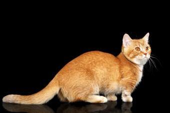 החתולים הקטנים ביותר בעולם