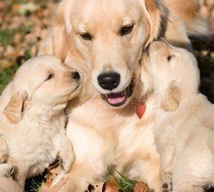 תסמינים במהלך הריון הכלב