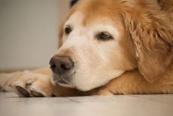 Nariz de cachorro crocante