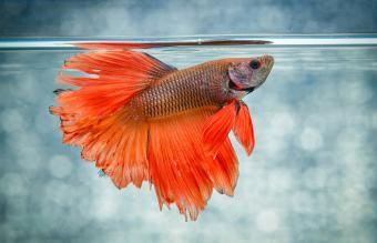 علائم بیماری ماهی بتا