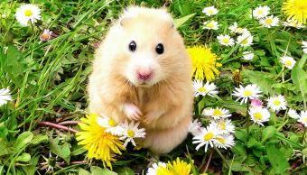 Mais de 275 nomes de hamsters fofos para meninos e meninas